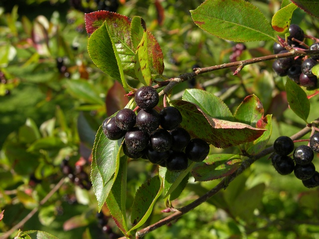 aronia melanocarpa submited images pic2fly. Black Bedroom Furniture Sets. Home Design Ideas